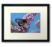 Glasswing Butterfly, Acraea andromacha 2. Framed Print