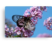 Glasswing Butterfly, Acraea andromacha 2. Canvas Print