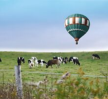 Cows and Hot Air Balloon by BrookeRyanPhoto
