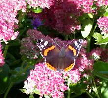 Red Admiral by Fedelm