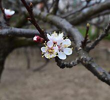 Apple flower by MariaNikelova