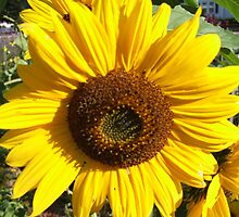 sunflower 2008 by Maureen Zaharie