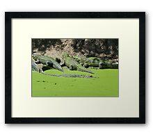 Gator Gathering Framed Print