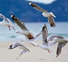 Silver Gull by tasmanianartist
