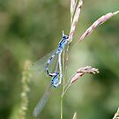 Blue Damselflies by Lori Peters