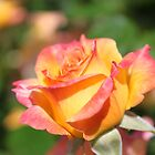 pretty orange, yellow rose flower. Nature photo art. by naturematters