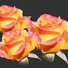 Lovely orange, pink, yellow rose flowers. Love, friendship, roamnce. Floral photo art. by naturematters