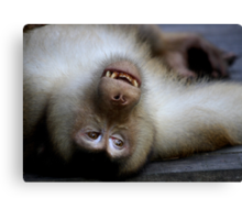 Not A Care In The World: Pig-tailed Macaque Portrait, Borneo  Canvas Print