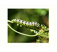 Black-Swallowtail caterpillar Art Print