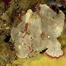 Red-Fingered Anglerfish - Porophryne erythrodactylus by Andrew Trevor-Jones