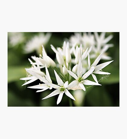 Wild snow-white garlic flowers Photographic Print