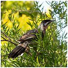 Adult Red Wattlebird  by Sandra Chung