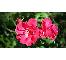 Lovely Roses Photographic Print