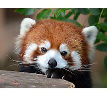 Shy Red Panda Photographic Print