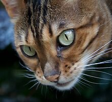 Bengal Cat by Mythos57