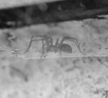 Black and White Spider by Liam O'Reilly