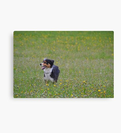 AS black tri in field Canvas Print