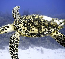 Hawksbill Sea Turtle by Amy McDaniel