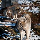Timber Wolves - Gray Spirit Of The Forest 6 by WolvesOnly
