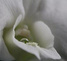 Orchid 18 by Jan Vinclair