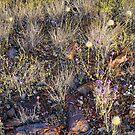 Desert Flowers by Harry Oldmeadow