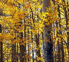 Colorado Aspen Trees in Fall by Amy McDaniel