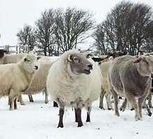 Flock of sheep in the snow by Jules66