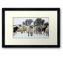 Flock of sheep in the snow Framed Print
