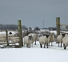 Sheep in a snowy gateway by Jules66