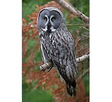 great grey owl (2) Photographic Print