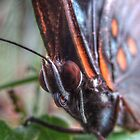 Red Spotted Purple by ChuckBuckner
