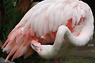 Greater Flamingo Preening #3 by Carole-Anne
