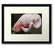 Greater Flamingo Preening #3 Framed Print