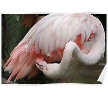 Greater Flamingo Preening #3 Poster