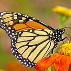 Monarch Of The Flowers by MotherNature2