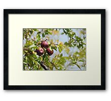 Apple Pickin' Time Framed Print