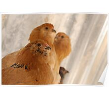 Easter Eggers on their perch Poster