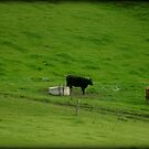 Cattle Grazing by Chris Chalk