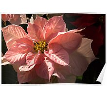 Sunny Pink Poinsettia - Vivacious Christmas Greetings Poster