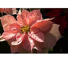 Sunny Pink Poinsettia - Vivacious Christmas Greetings Photographic Print