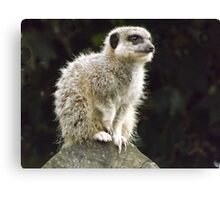 Meercat    So cute as tote  house trained Canvas Print