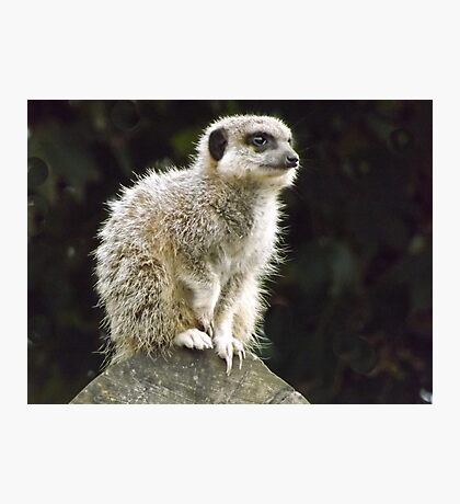 Meercat    So cute as tote  house trained Photographic Print