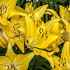 Golden Lilies by PhotosByHealy