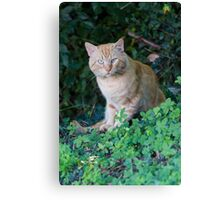 curious cat Canvas Print
