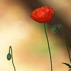 Poppy by Chris Day