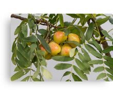 pears on the tree Canvas Print