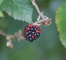 blackberries in the forest by spetenfia