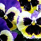 Winter Pansies by AngieDavies