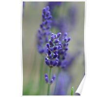 Lavender dreams Poster