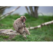 macaque Photographic Print